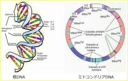 ミトコンドリアDNAと核DNA.jpg